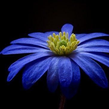 La Flor Azul – La Flor del Olvido